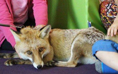 Foxi, die zahme Füchsin im Montessori-Kiga